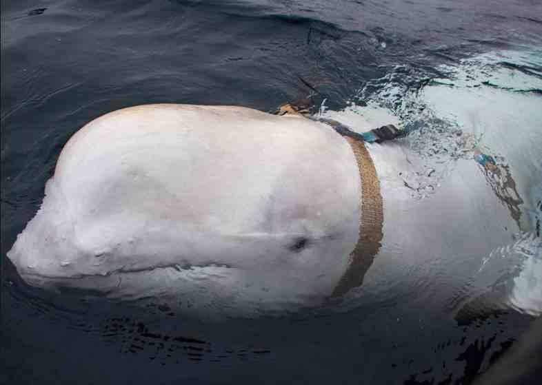 Noruega teme que esta beluga sea un arma de espionaje ruso