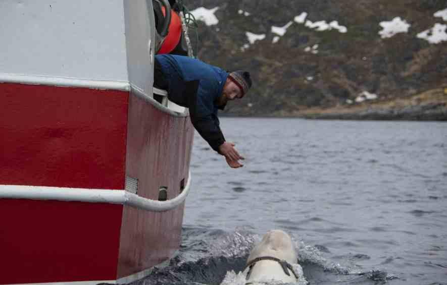 Pescadores encentran ballena beluga con arnés ruso — Noruega