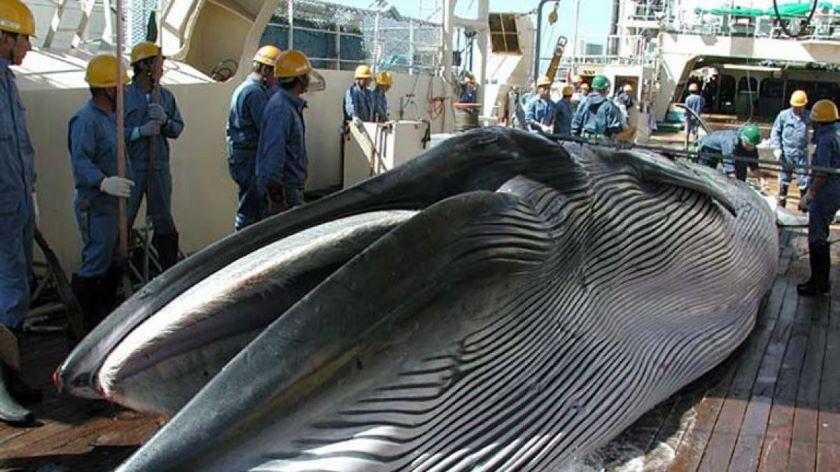 Japón reanudará la pesca de ballenas después de 30 años