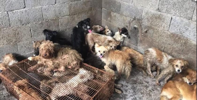 Activistas salvan a 62 perros que iban a ser cocinados en China