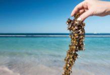Por lluvia y viento, sargazo se aleja de playas de Quintana Roo