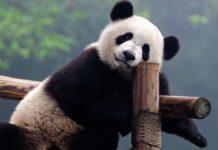 China construye parque nacional para la conservación de los pandas