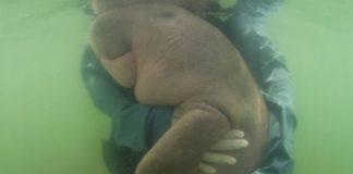 Muere cría de dugong en Tailandia tras haber comido plástico