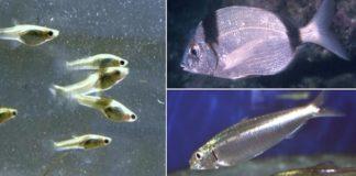 Charal, mojarra y sardina en peligro de extinción por actividad humana