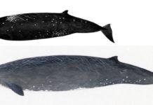 Descubren una nueva especie de ballena en costas de Japón