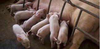 Porcicultura en México