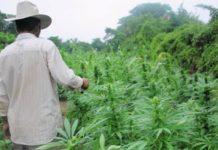 AMLO no descarta legalizar mariguana, se analizan todas las opciones