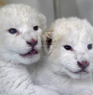 Nace pareja de cachorros de león blanco en China