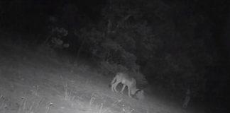 Captan a cachorros de lobo mexicano, especie en peligro de extinción