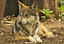 Lobo mexicano vuelve a la vida silvestre