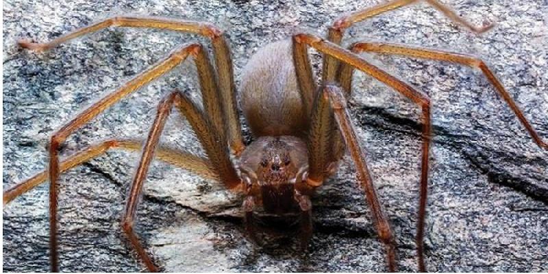 Descubren nueva araña violinista