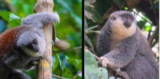 Brasil, mono Titi en peligro