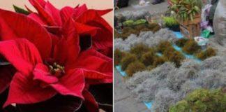 Piden reciclar nochebuenas y musgo para aprovechar propiedades