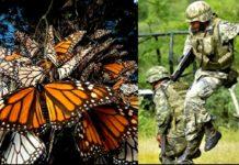 Mariposa monarca protegida por la Ley
