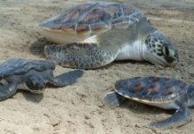 Profepa asegura más de 6 mil huevos de tortuga golfina en Oaxaca