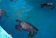 Rescatan a tortugas afectadas por marea roja en Oaxaca