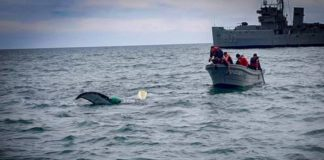Semar rescata ballena tipo Minke en Baja California
