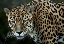 Piden catalogar a jaguar como especie en peligro de extinción