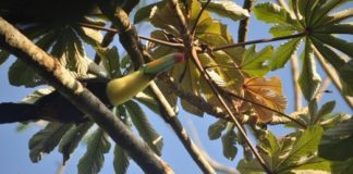 Pareja de tucanes vuelve a su habitat natural en Veracruz