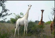 Kenia llora caza de jirafa blanca y su bebé