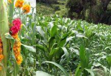 Guerrero maíz, Maíz guerrero
