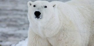 Aumenta canibalismo entre osos polares por calentamiento global
