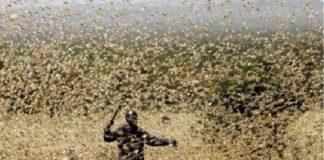 Plaga de langostas en África y Medio Oriente